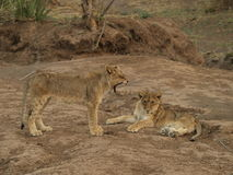 Lion cubs. Lion cub yawning at brother Stock Photos