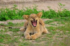 Lion cub yawning Stock Photography