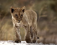 Lion Cub. Young lion cub with attitude walking down the road royalty free stock photos