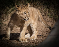 Lion Cub. Young lion cub looks to play and romp in the wild Stock Photo