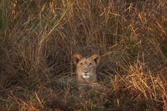 Lion Cub in Zambia royalty-vrije stock foto's