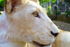 Lion cub in the zoo Royalty Free Stock Image