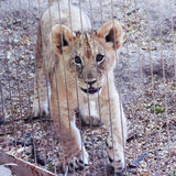A Lion Cub in a Zoo Enclosure Royalty Free Stock Photos