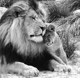 Lion with cub. Zwart witte foto met leeuw en welp. Love. Black and White, Lion and cub royalty free stock images