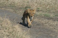 Lion CubPanthera Leo Simba in Swahili Language running to catch up with the family members stock images