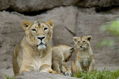 Lion with cubs. Lion (Panthera leo) with cubs Royalty Free Stock Photos