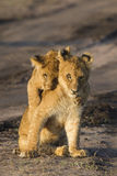 Lion cubs. Two playful lion cubs (Panthera leo), Africa Stock Photography