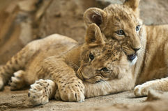 Lion Cubs. Two little lion cub sibling lying together Stock Photos