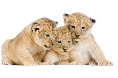Lion Cubs. (3 weeks)  in front of a white background. All my pictures are taken in a photo studio Stock Image