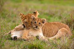 Lion cubs. Playing in the grass (Panthera leo Stock Image