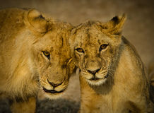 Lion Cubs. Two Lion cubs greet each other in wonderful African light, Zambia Stock Photo