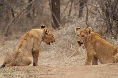 Lion Cubs Fotografia de Stock