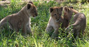 Lion Cubs. Three young lion cubs in the long green grass Royalty Free Stock Photography