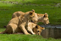 Lion Cubs Royalty Free Stock Photos