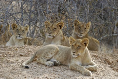 Lion cubs. Resting; Picture was taken in Kruger National Park, South Africa Stock Images
