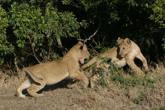 Lion Cubs. Two lion cubs chasing each other Royalty Free Stock Images