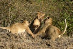 Lion Cubs Images libres de droits