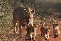 Lion cubs. Female lion and 3 cubs in Madikwe game reserve Stock Image