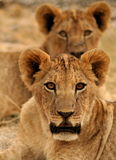 Lion cubs Stock Photography