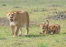 Lion and Cubs. African Safari in Maasai Mara, Nairobi, Kenya Stock Photos