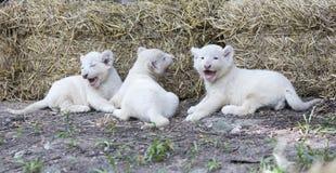 Lion Cubs bianco Fotografie Stock