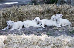 Lion Cubs bianco Immagine Stock Libera da Diritti