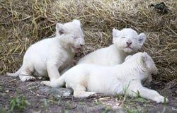 Lion Cubs bianco Fotografia Stock