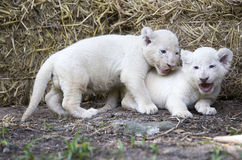 Lion Cubs bianco Immagine Stock
