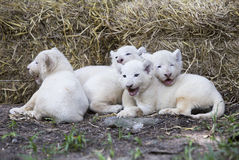 Lion Cubs bianco Immagini Stock