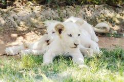 Lion Cubs bianco Fotografie Stock Libere da Diritti