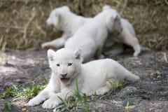 Lion Cubs blanco Fotografía de archivo libre de regalías