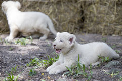 Lion Cubs blanco Imágenes de archivo libres de regalías