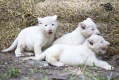 Lion Cubs branco Fotos de Stock Royalty Free