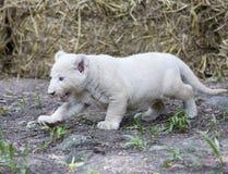 Lion Cubs branco Imagens de Stock Royalty Free