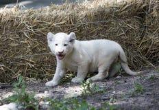 Lion Cubs branco Foto de Stock Royalty Free
