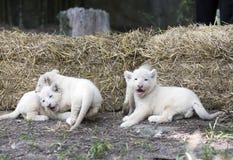 Lion Cubs branco Imagem de Stock Royalty Free