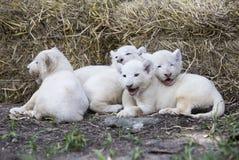 Lion Cubs branco Imagens de Stock