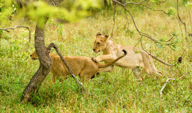 Lion cubs in the Bush in South Africa. Lion cubs in the bush at the Jackalberry Safari Lodge in the Thornybush Private Game Reserve in the Limpopo Province South Stock Image