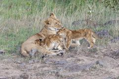 Lion cubs caregiving. Lioness suckle and licking her two three month old cubs while resting along road in  Masai Mara National Park, Kenya Royalty Free Stock Images
