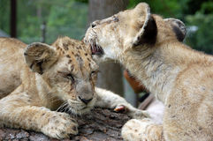 Lion cubs in Chiang Mai, Thailand Stock Photos