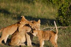 Lion Cubs com mãe - Masai Mara - Kenya fotografia de stock royalty free
