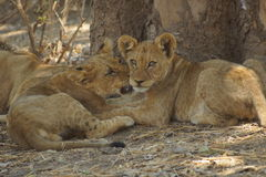 Lion cubs cuddling. Group of beautiful lion cubs laying under a tree and cuddling Royalty Free Stock Photography