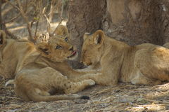 Lion cubs cuddling. After cuddling and licking each other they were prepared to doze in the shadow of a big tree Stock Images