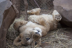 Lion cubs. Cute lion cubs in Africa Stock Images