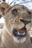 Lion cubs Royalty Free Stock Photography