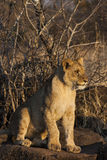 Lion cubs Royalty Free Stock Image