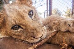 Lion cubs Royalty Free Stock Photos