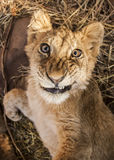 Lion cubs. Cute lion cubs in Africa Royalty Free Stock Images