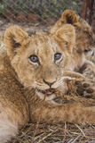 Lion cubs. Cute lion cubs in Africa Stock Photo