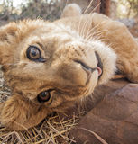 Lion cubs. Cute lion cubs in Africa Stock Photos